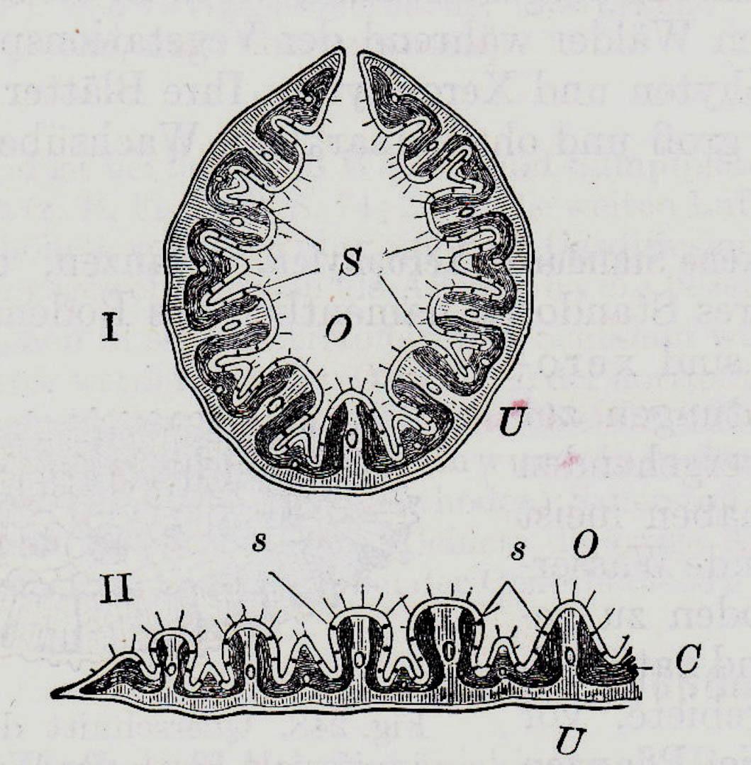 Torfmoos, Sphagnum