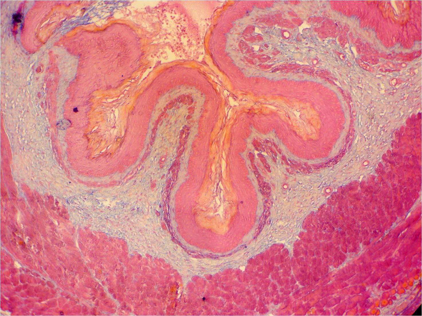 Histologie der Speiseröhre der Ratte