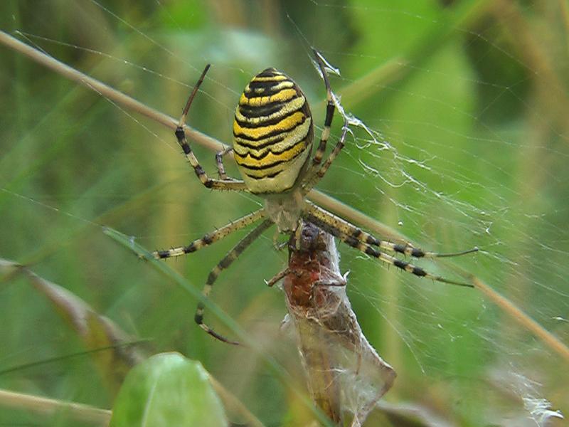 Kräuseljagdspinnen
